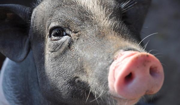 Smiling-Pig